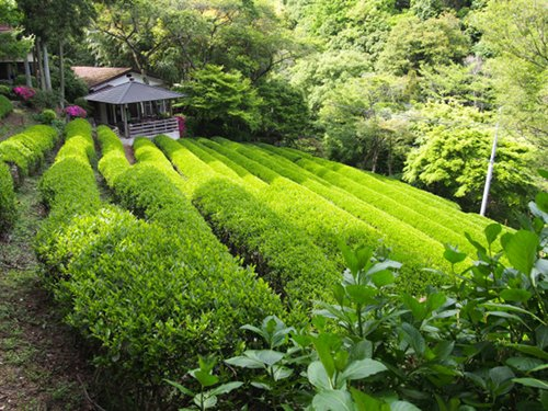 Shizukatei Tea Garden in Kobe: Full shot
