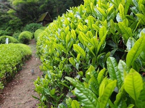 Shizukatei Tea Garden in Kobe: Tea leaves closeup
