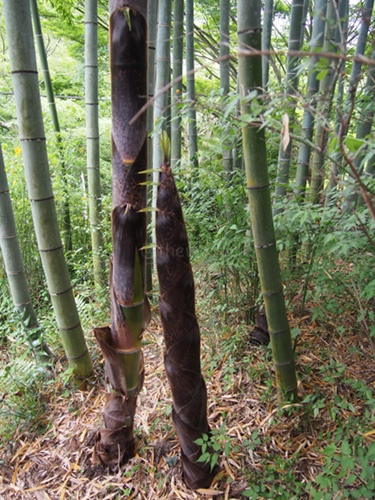 Shizukatei Tea Garden in Kobe: Young bamboo trees
