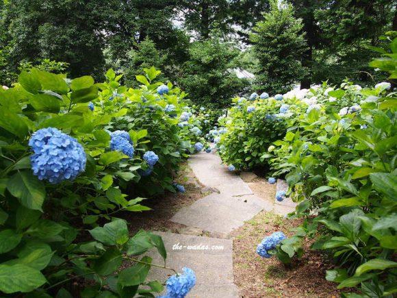 Kibitsu Shrine Ajisai Festival: Blue Road