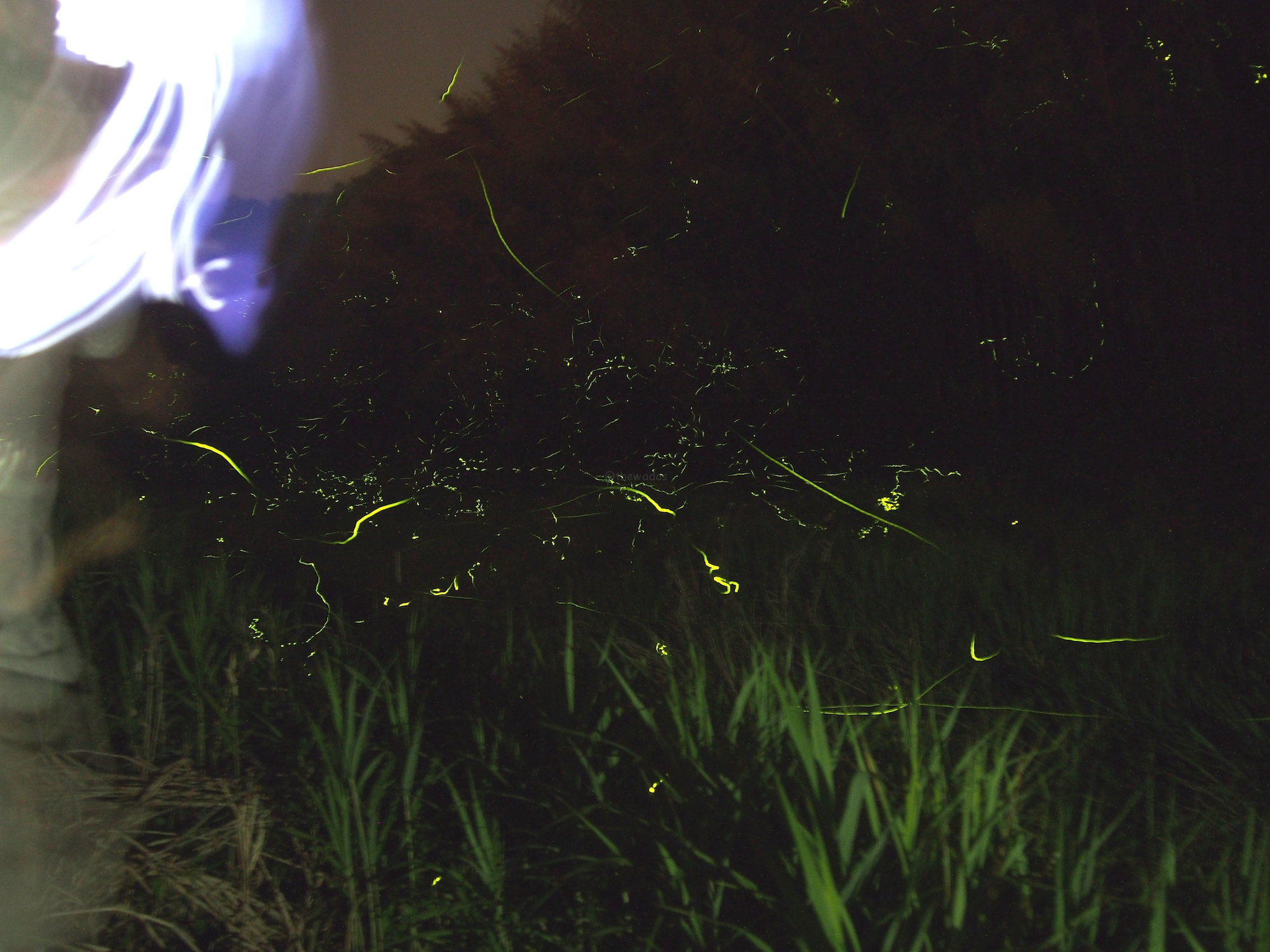 Japanese Fireflies in Hokubo, Maniwa City: Fireflies on the move