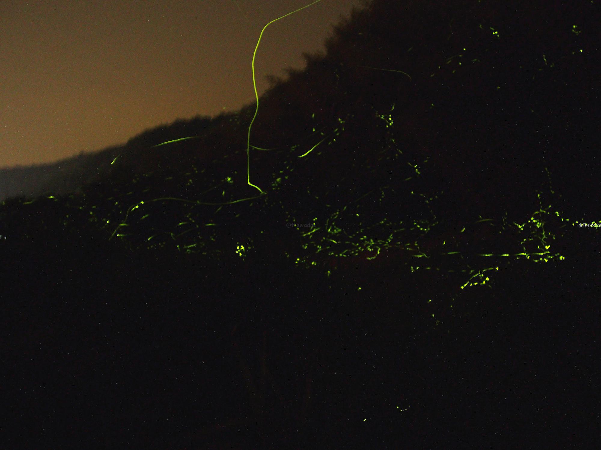 Japanese Fireflies in Hokubo, Maniwa City: Fireflies on the move