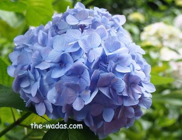Kibitsu Shrine Ajisai Festival: Blue