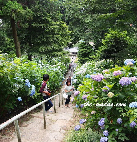 Ajisai Festival at Kibitsu Shrine: Top view