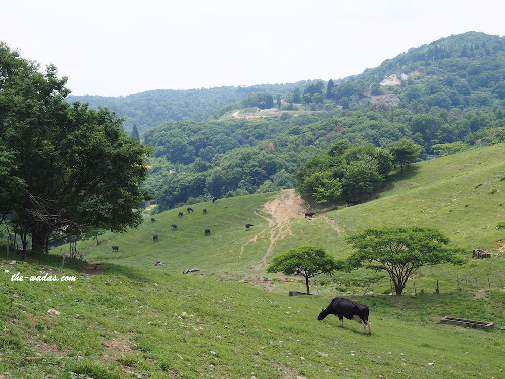 Masuda Dairy Farm, Okayama: Cows in field