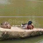 Matsuda Dairy Farm, Okayama: Ducks in pond