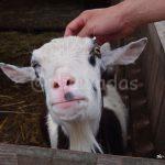 Matsuda Dairy Farm, Okayama: Goat closeup