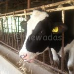 Matsuda Dairy Farm, Okayama: Holstein closeup