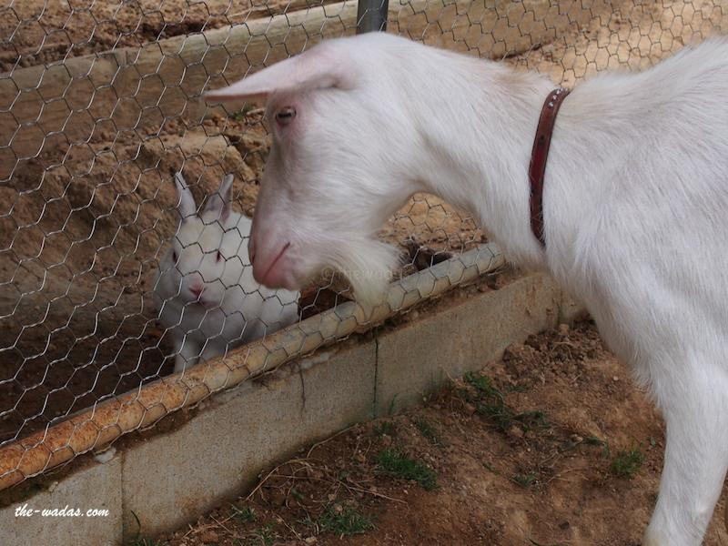Masuda Dairy Farm, Okayama: Goat giving food to rabbit