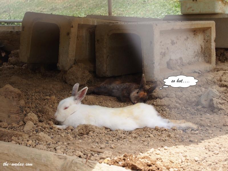 Masuda Dairy Farm, Okayama: Rabbits relaxing
