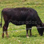 Matsuda Farm: cow closeup