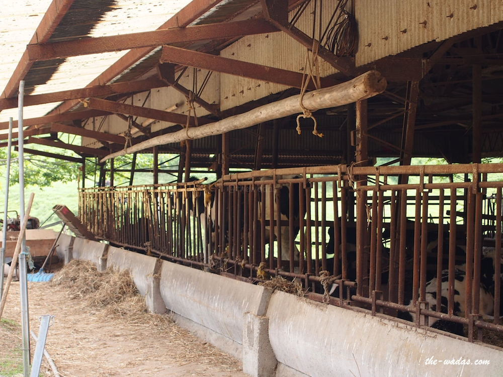 Masuda Dairy Farm, Okayama: cow house