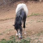 Matsuda Dairy Farm, Okayama: Pony