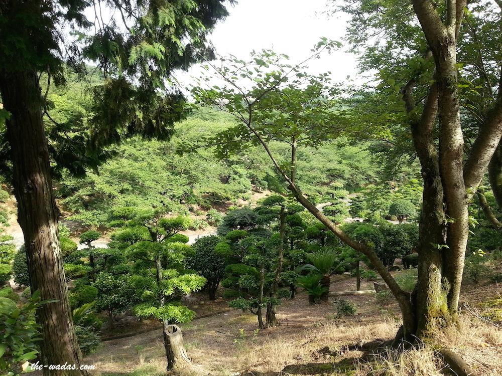 Tanematsuyama Park, Kurashiki City: Matsu (pine) trees