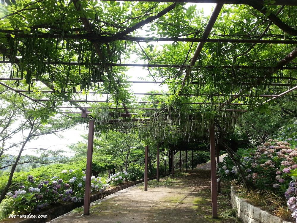 Tanematsuyama Park, Kurashiki City: Wisteria trees