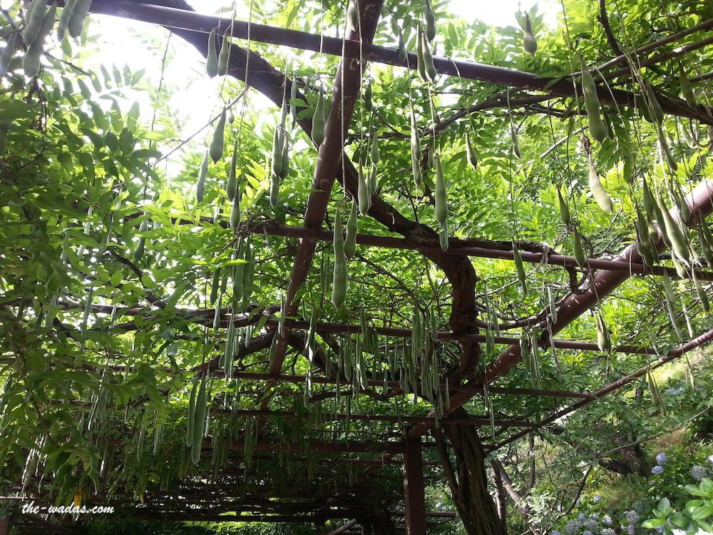 Tanematsuyama Park, Kurashiki City: Wisteria seed pods