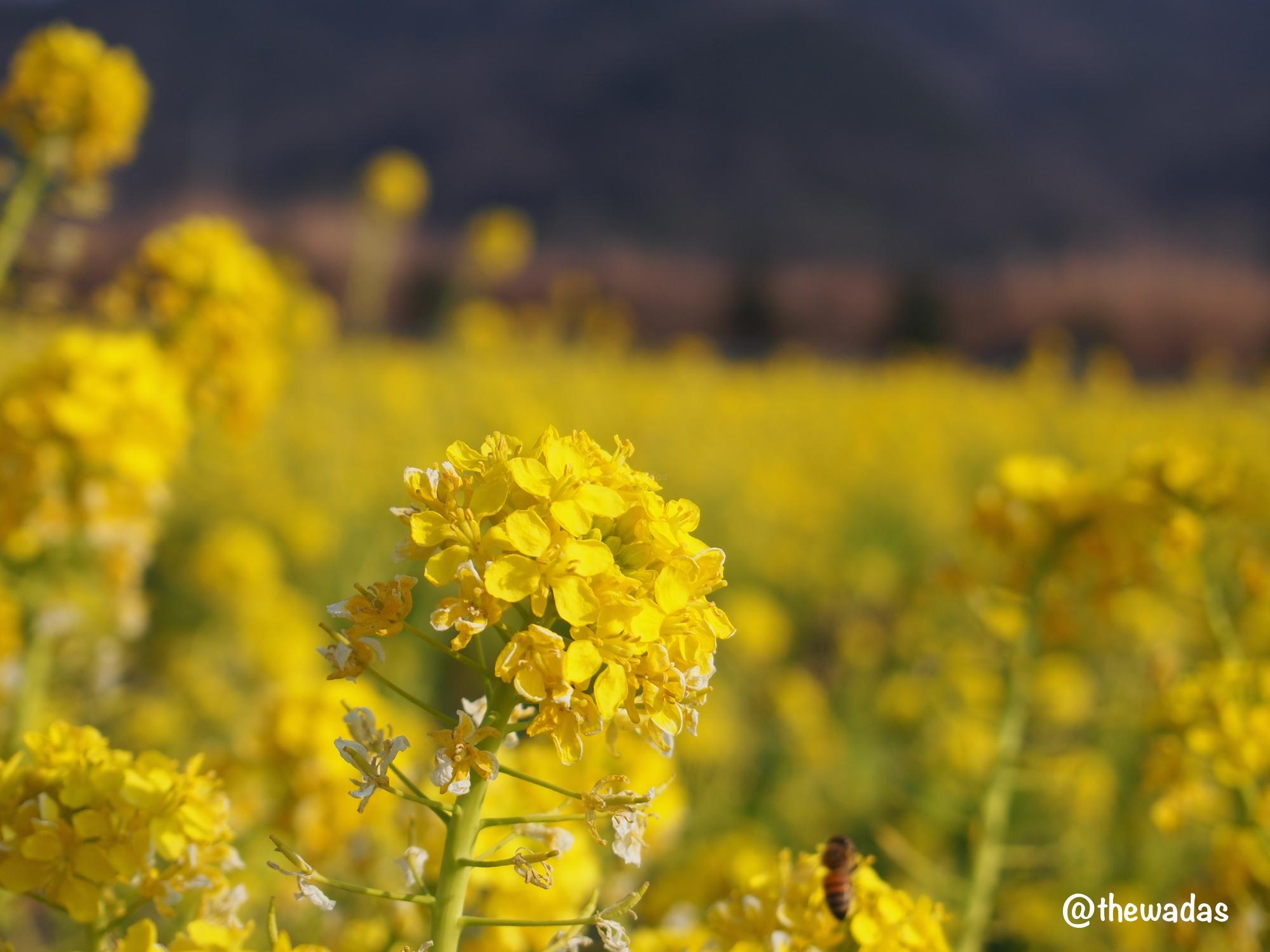 Kasaoka Bayfarm: Nanohana rapeseed flower field, flower closeup