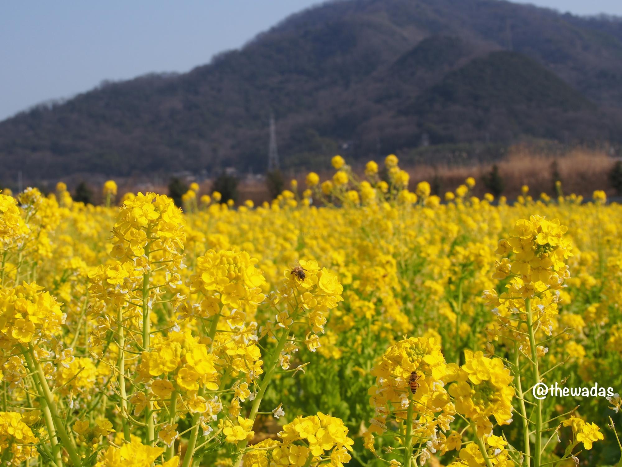Kasaoka Bayfarm: Nanohana rapeseed flower field, closeup