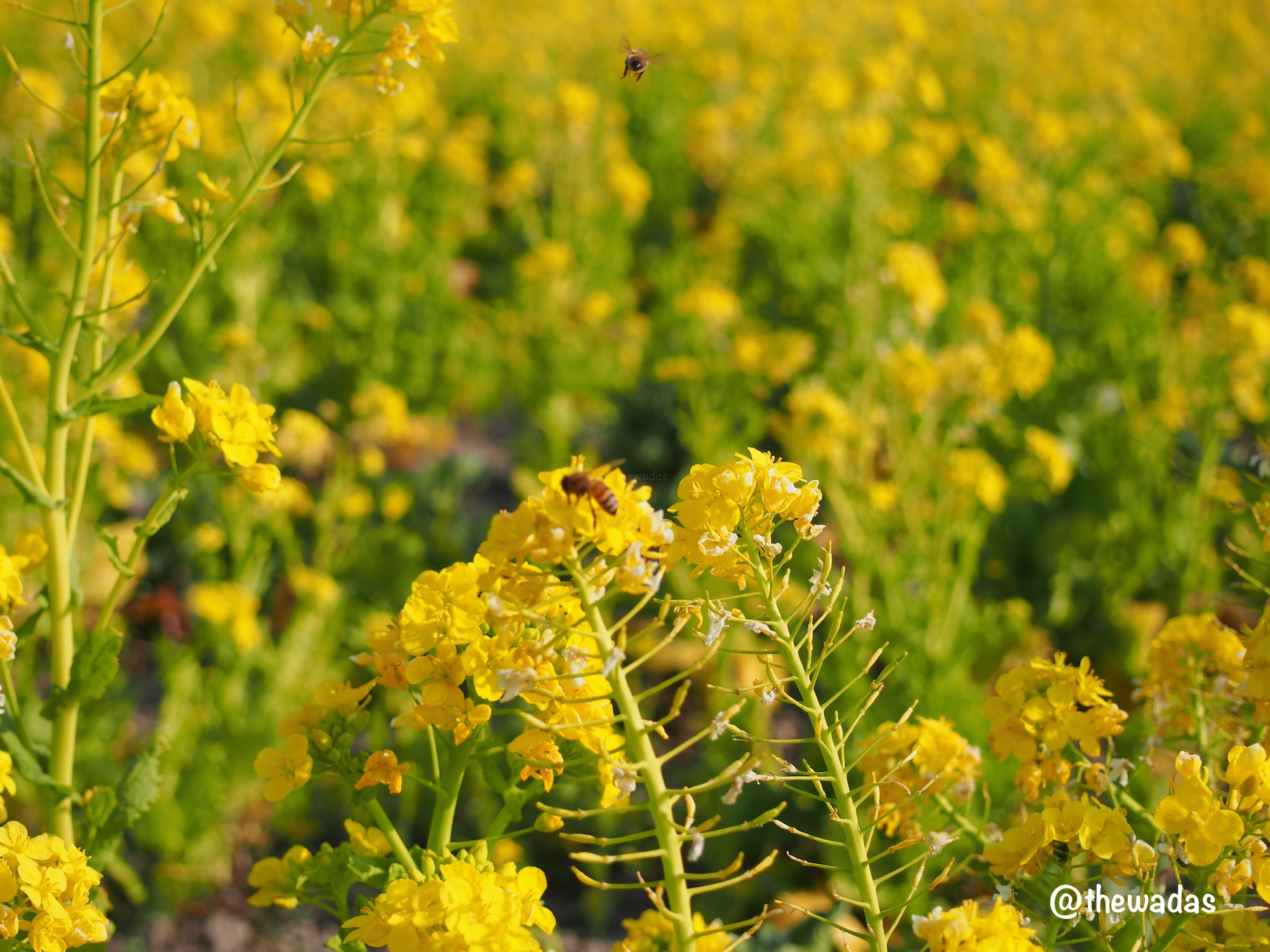 Kasaoka Bayfarm: Nanohana rapeseed flower field, closeup with bees