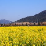 Nanohana (菜の花) or Rapeseed Flower Field in Kasaoka City