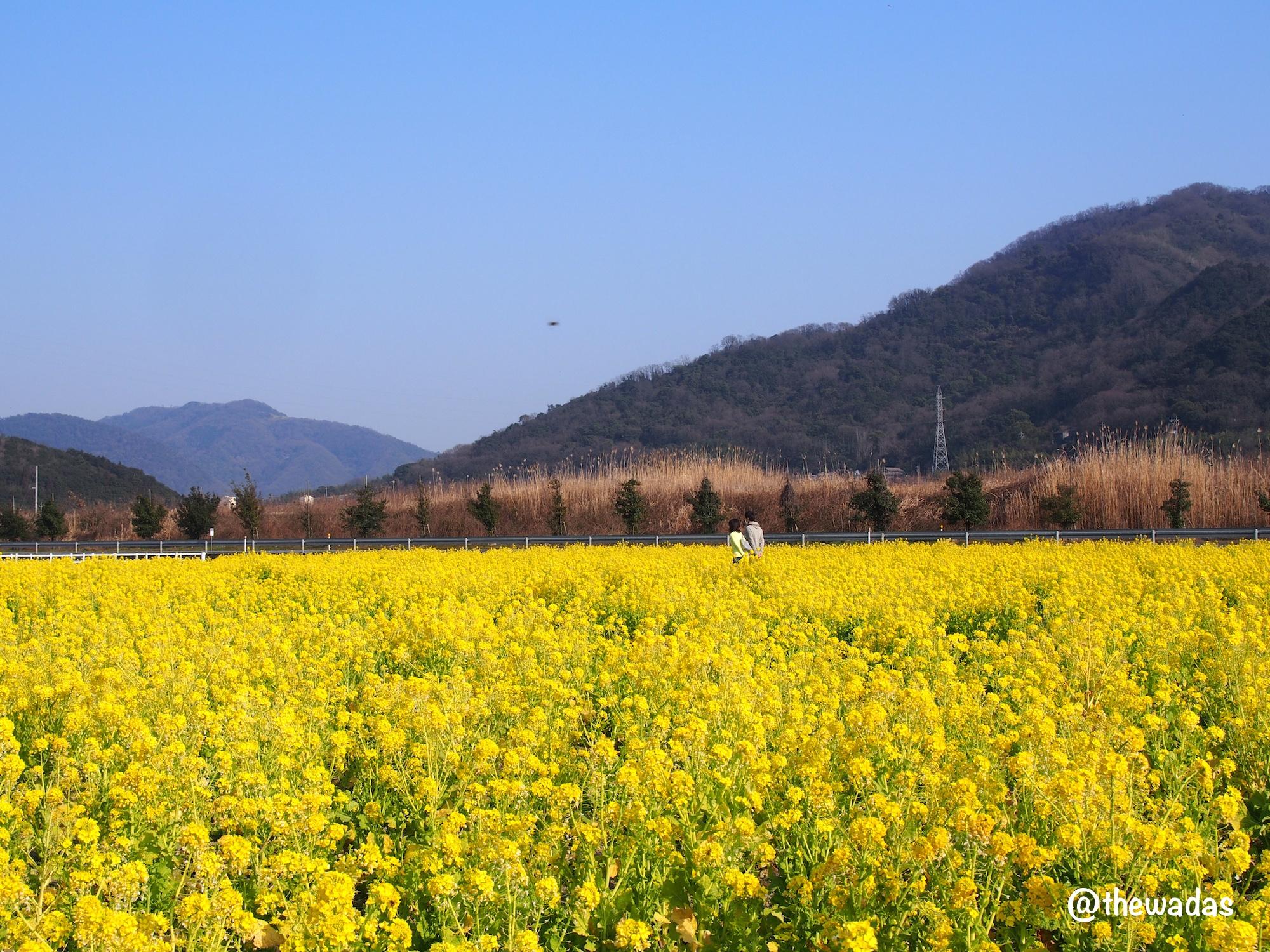 Kasaoka Bayfarm: Nanohana rapeseed flower field, couple