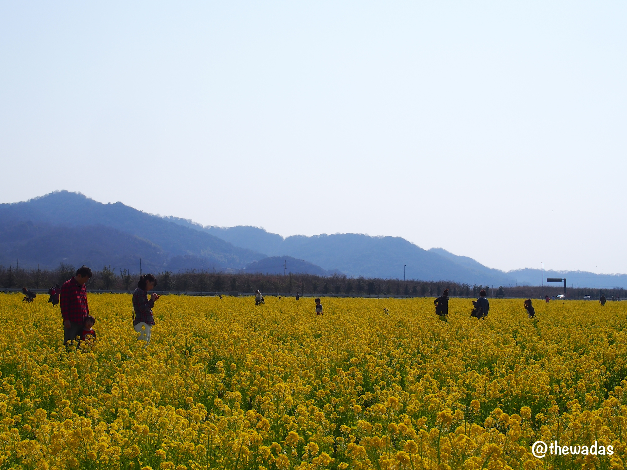 Kasaoka Bayfarm: Nanohana rapeseed flower field and mountain