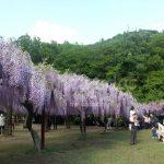 fuji_festival_wisteria_festival_outer