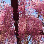 Wisteria Flower Festival, Fuji Park: pink wisteria closeup