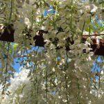 Wisteria Flower Festival, Fuji Park: white wisteria flower