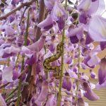 Wisteria Flower Festival, Fuji Park: wisteria and crawler
