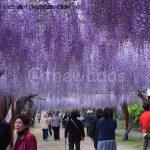 Wisteria Flower Festival in Fuji Park, Wake Town