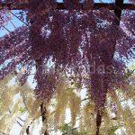 Wisteria Flower Festival, Fuji Park: wisteria flower shower