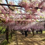 Wisteria Flower Festival, Fuji Park: pink and purple wisteria