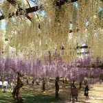 Wisteria Flower Festival, Fuji Park: white and purple wisteria flowers