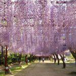 Wisteria Flower Festival, Fuji Park: purple wisteria flower road