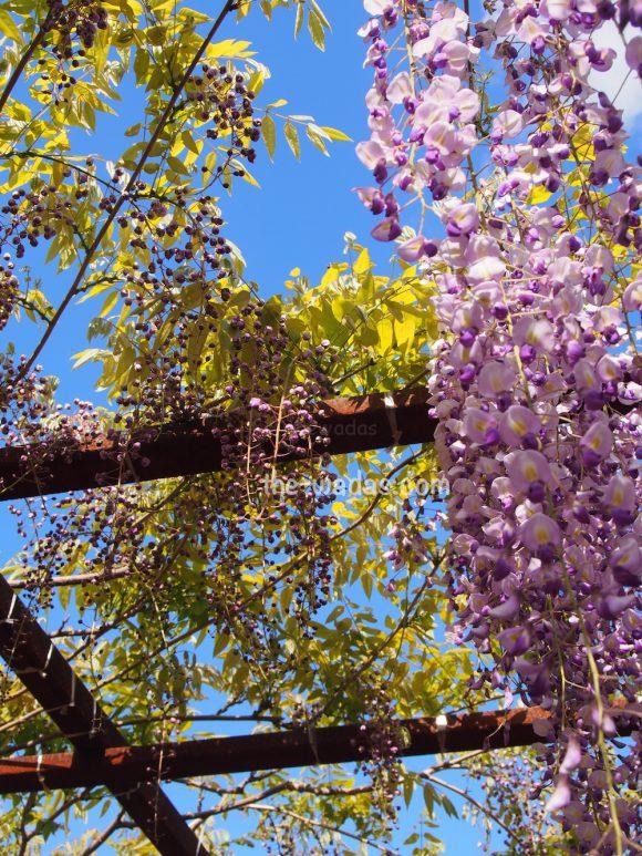 Fuji Park, Wisteria Flower Festival: bud-like wisteria