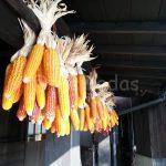 Dry corns