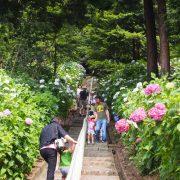 Ajisai Flower Festival in Kibitsu Jinja: ajisai and stairway