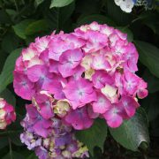 Another pink hydrangea