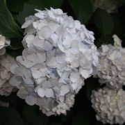 White hydrangea with a hint of blue