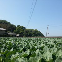 Cabbage farm