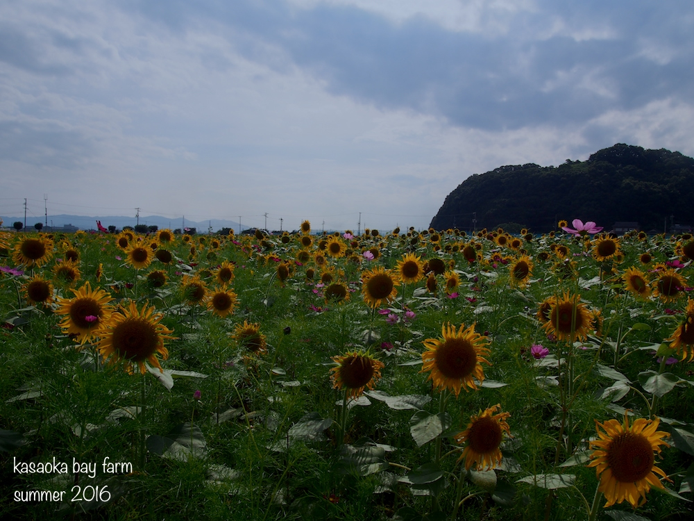 Kasaoka Bay Farm Summer 2016: sunflower and cosmos flower fields