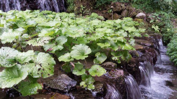 wasabi_plantation