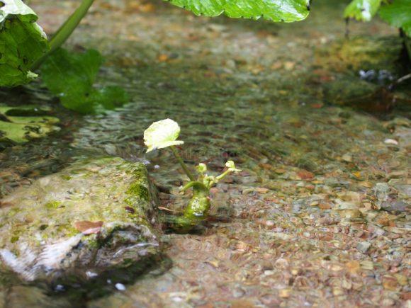 Wasabi Plantation