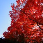 Autumn Leaves in Kyoto (Genko-an Temple)