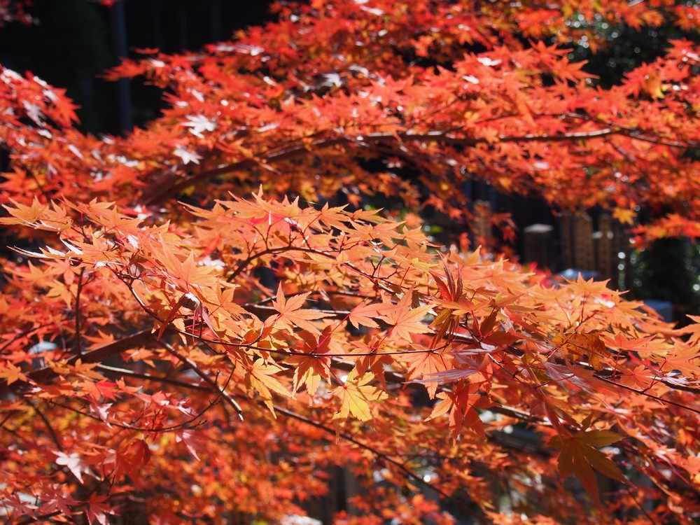 Autumn Leaf Spots in Kyoto