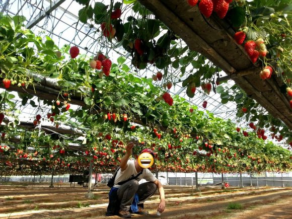 strawberry picking in okayama