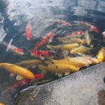 colorful carps.