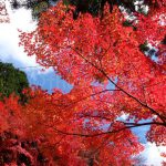 Another contrast (blue sky and red leaves)