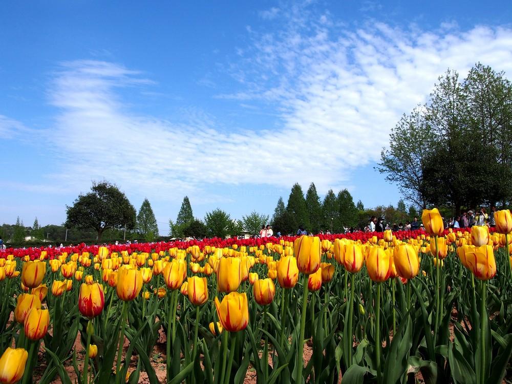 Serakogen Farm: Tulip Festival